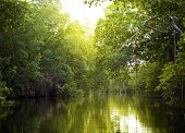 Tropical thickets mangrove forest on the Black river. Jamaica.