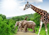 Giraffe and elephants
