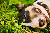 Close Pets Bull Terrier Dog Portrait At Green Grass