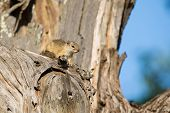 Tree Squirrel Sit In Old Dead Tree To Enjoy The Morning Sun
