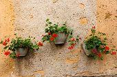 Wall And Three Pots Of Geranium Plants
