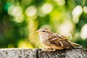 stock photo of bird fence  - Young Bird Nestling House Sparrow  - JPG