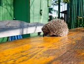 Hedgehog On The Table