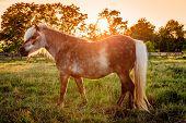 Shetland Pony on a farm in Central Kentucky against sunset
