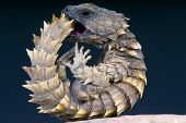 Armadillo girdled lizard / Cordylus cataphractus