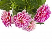 Beautiful Pink Dahlia Flowers close up  Isolated on White Background