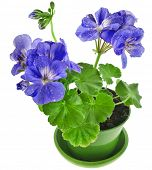Blue geranium flower in a clay pot isolated on white background