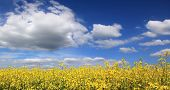 pic of heliotrope  - Canola field full bloom against cloudy sky - JPG