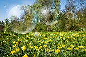 Flowering meadow of dandelions and flying bubbles