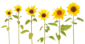 pic of six-petaled  - mix of 6 sunflowers  - JPG