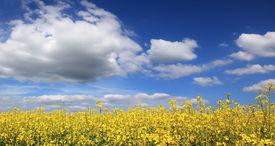 pic of heliotrope  - Canola field full bloom against cloudy sky - JPG