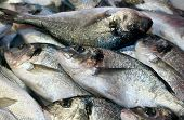 Bream Caught Fresh In The Mediterranean Sea