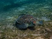 Sea Turtle Eats Seaweed