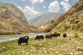 stock photo of yaks  - Yaks in scenic valley in Himalayas mountains in Nepal - JPG