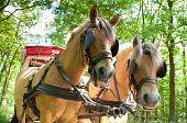 Cavalos Fjord