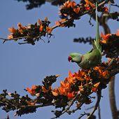 image of parakeet  - Psittacula eupatria - JPG