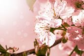 Flowers of the cherry tree, pink backgrounds