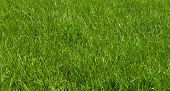 Green texture of grass is in a garden