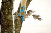 Sparrows in Flight at Winter Bird Feeder
