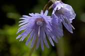 stock photo of snowbell  - Alpine Snowbell - Soldanella alpina