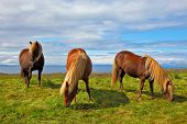 Summer in Iceland. Charming horses on free ranging on the beach