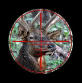 foto of rifle  - Hunting rifle reticle zoomed in on a wild buck elk - JPG