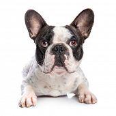 French bulldog isolated on white background