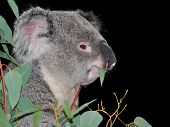 Cute koala eating eucalyptus