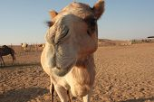 Camel in Dubai desert close up
