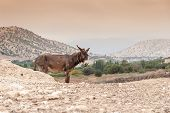 image of wild donkey  - Brown donkey in a field during summer in Morocco - JPG