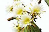 Close-up de flores de cacto - pachanoi scopulicolus