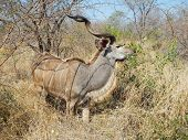 wild male nyala eating leaves at Kruger, South Africa