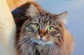 Siberian Pedigree Cat