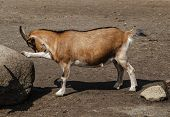 Brown Goat From The Safari Park