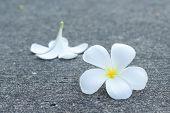 Frangipanni Or Plumeria Flower