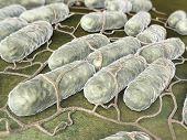 Culture Of Salmonella Bacteria
