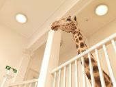 pic of taxidermy  - Taxidermy Giraffe in office environment shot from below - JPG