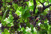 Fresh Unripe Grape Vine The Background