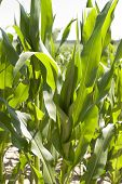 stock photo of biogas  - Biogas corn field for the harvest of a biogas plant