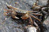 Green Shore Crabs - Hemigrapsus oregonensis