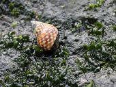 Checkered Periwinkle - Littorina scutulata