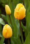 yellow Tulips in Keukenhof Flower Garden,The Netherlands