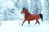Bay Horse Running In The Snow