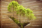 Five Bonsai Trees On A  Tree Stub