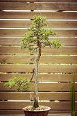 stock photo of bonsai tree  - old bonsai tree in a flower pot - JPG