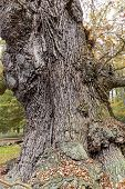 Hdr Shoot Of An Very Old Oak