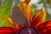 Butterfly Drinking Nectar From Orange Petals