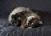 Fluffy Siberian Tabby Cat Lying On Quilt