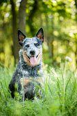 picture of heeler  - Summer beauty portrait of Australian cattle dog  - JPG