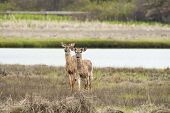 picture of dartmouth  - Pair of deer scan marsh for trouble - JPG